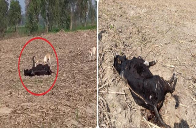 video of dogs flocking dead carcasses  body viral congress leader
