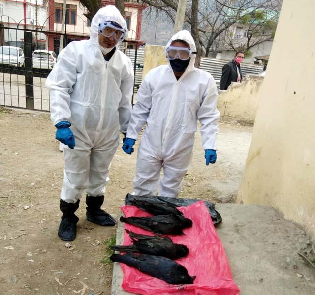 crows found dead in rohru