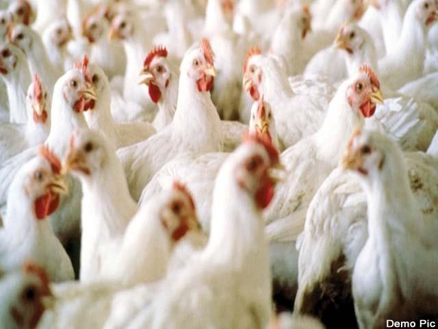 animal husbandry department keeps close watch on poultry farms