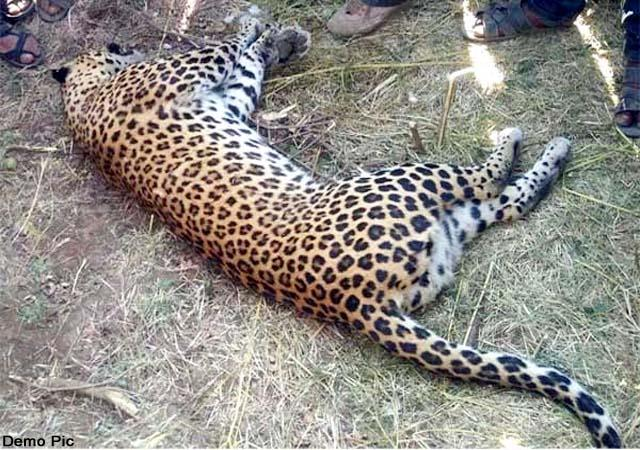 himachal s shooters killed man eating leopard