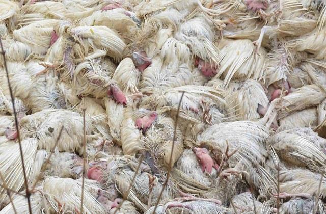 dead chickens found in many places in sanur