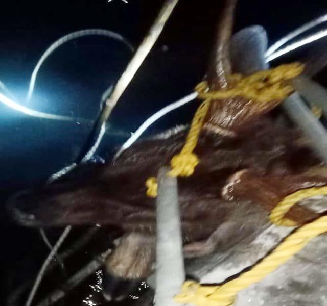 reindeer pulled alive from water tank