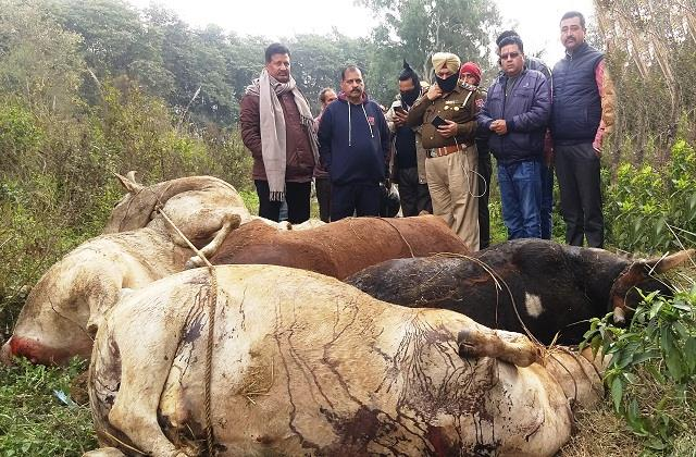 5 cows found dead tied with ropes