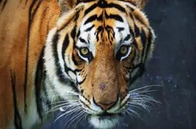 administration asks ntca to approve tiger transfer again