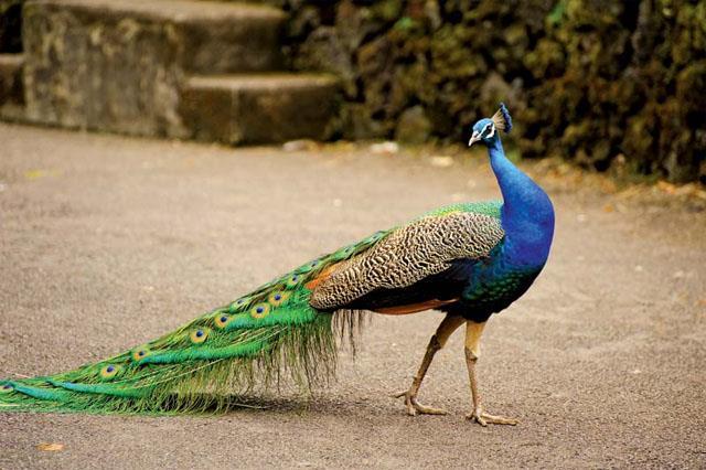bird flu virus not found in peacock birds found dead
