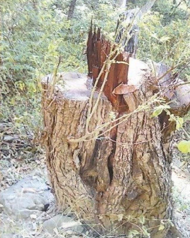 illegal harvesting 18 thousand trees worth 35 crores sacrificed