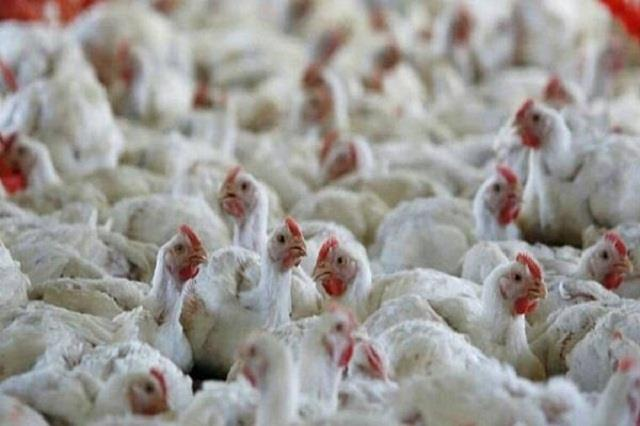 8800 chickens burnt to ashes due to fire at poultry farm