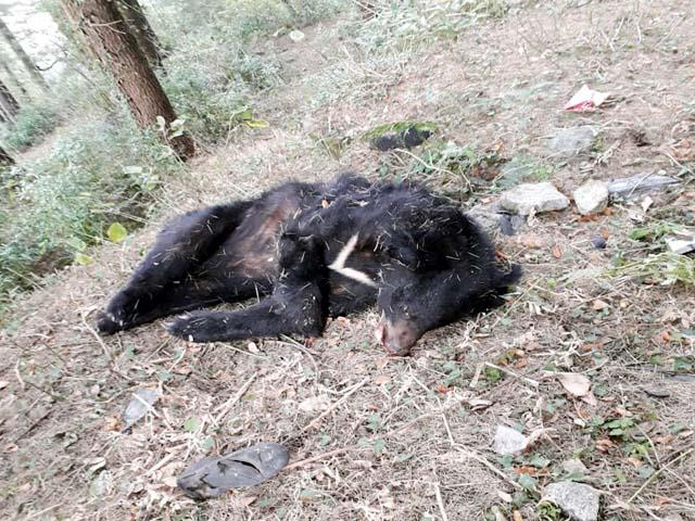 female bear found dead in dalhousie