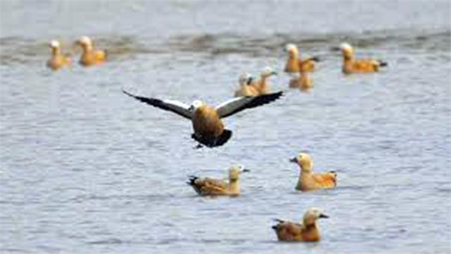 migratory birds decreased from november on sukhna lake