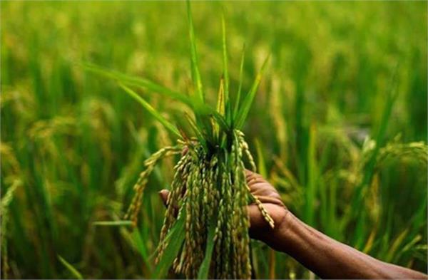 government procurement of paddy reached 1 26 lakh crore rupees