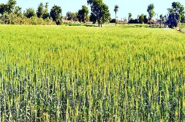 farmers worried about constant rising temperature