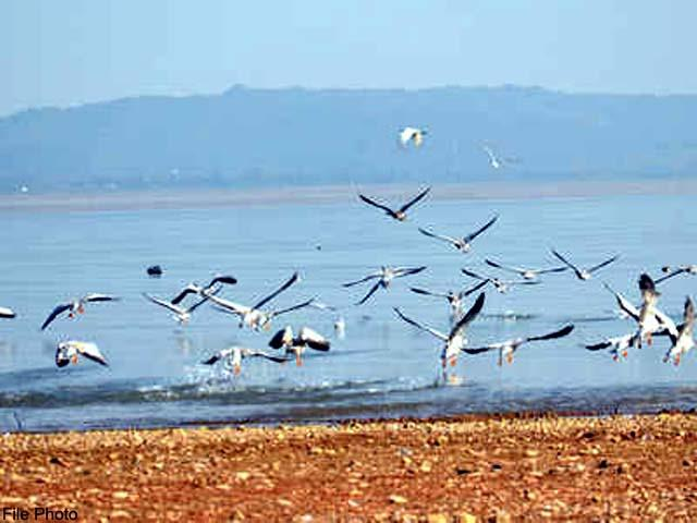 migratory birds started dying again in pong lake