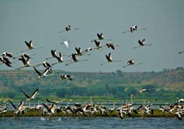 pong dam s influx of foreign birds decreased compared to last year