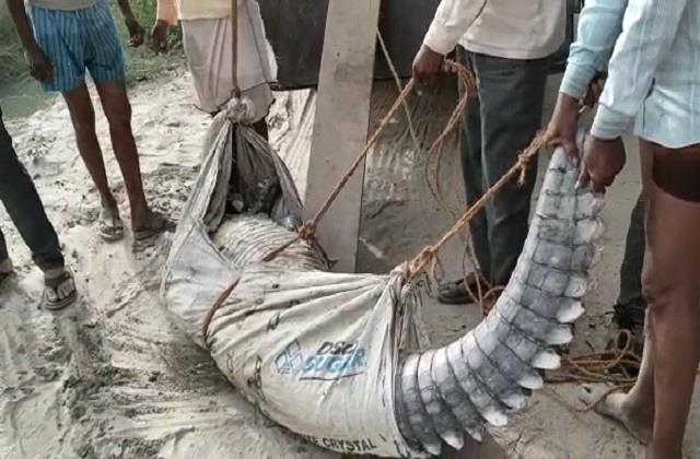 etawah 9 fit long dead crocodile found in river