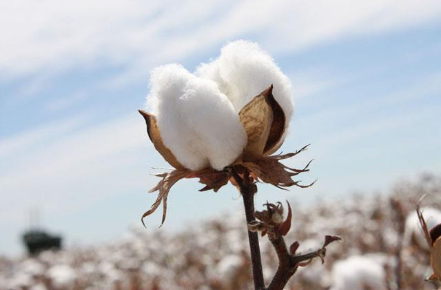 cotton exports may grow by 20 percent in the year 2020 21 cai