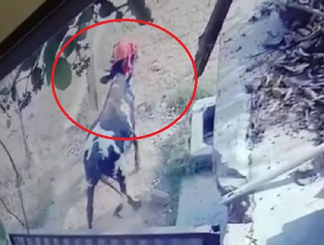 a stray bull took the life of an old woman