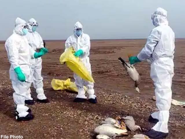 10 more foreigner birds found dead in nagrota surian