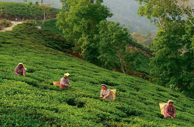 darjeeling tea losing its taste of profits many gardens are on sale