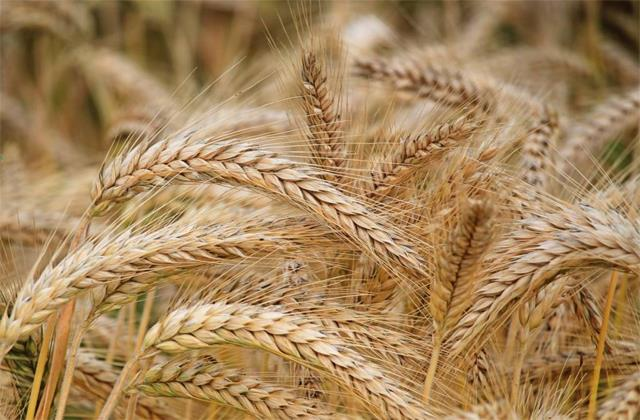 government procures record 400 million tonnes of wheat at msp for