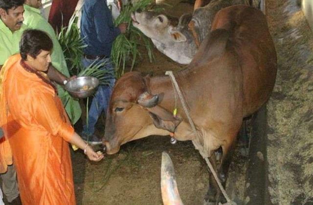 bjp mp sadhvi pragya claims taking cow urine extracts