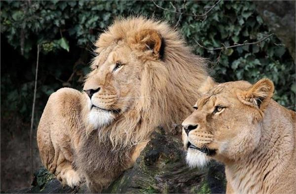 telangana 8 lions found corona infected quarantine done