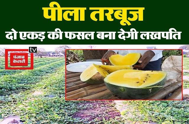 mp s graduate farmer grows yellow watermelon