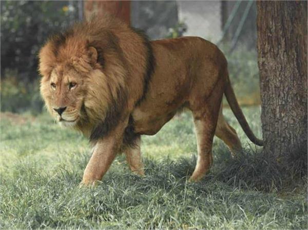 sri lanka seeks indian help to treat covid hit lion