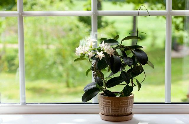 आपकी कई घरेलू परेशानियों का हल है जैस्मिन का फूल, जानें कैसे?