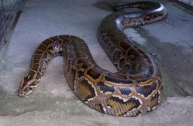 two feet long python trapped in the ac of the house