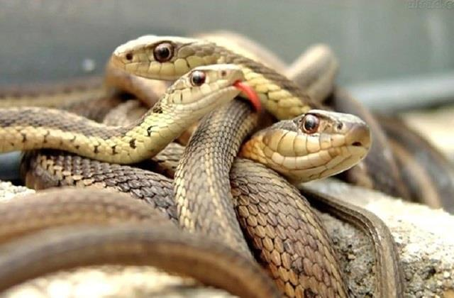 the havoc of snakes on the mourning family in satna