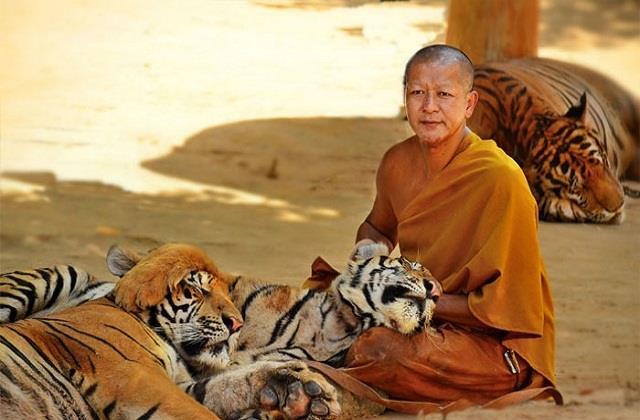 Tiger Temple: एक अनोखा मंदिर, जहां बाघों के बीच तपस्या करते हैं बौद्ध भिक्षु