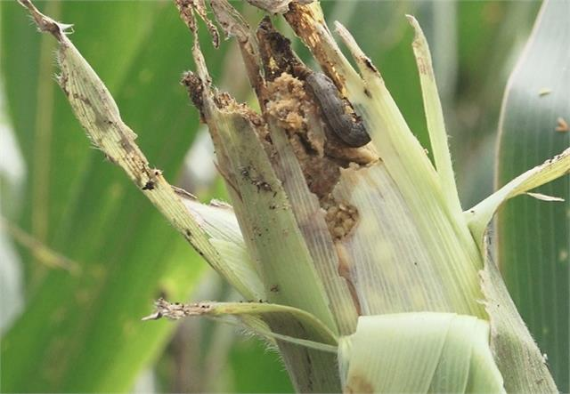 fall army worm ruined maize crop