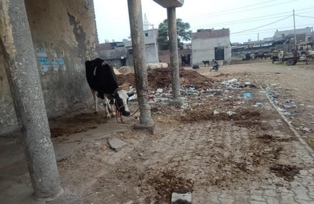 shameful 72 year old drunk man raped cow