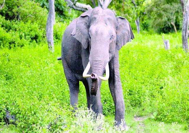 wild elephant crushes a passerby in palamu tiger reserve