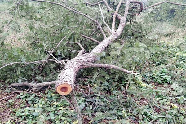PunjabKesari, Tree Cut Image